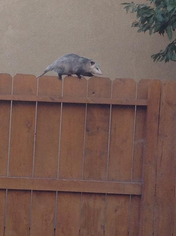 Possum 3
